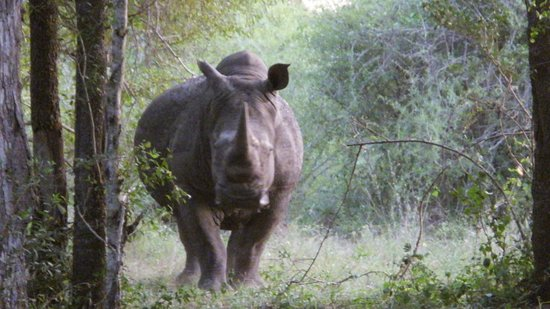 Rhino Walking Safaris at Plains Camp : taken just before she and 4 other rhinos charged us!