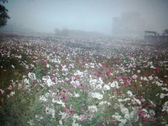 Kinmen Island: 濃霧天氣,好美的波斯菊花!