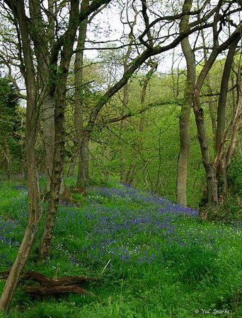 Old Shoulder of Mutton : Local walk through the Bluebell Woods