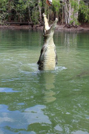 Hartley's Crocodile Adventures: Making them work for their dinner