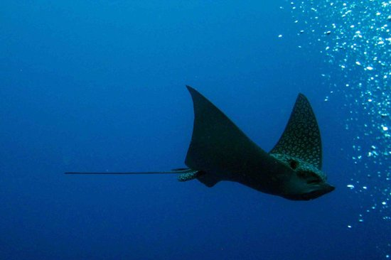 Octopus Dive School : eagle ray