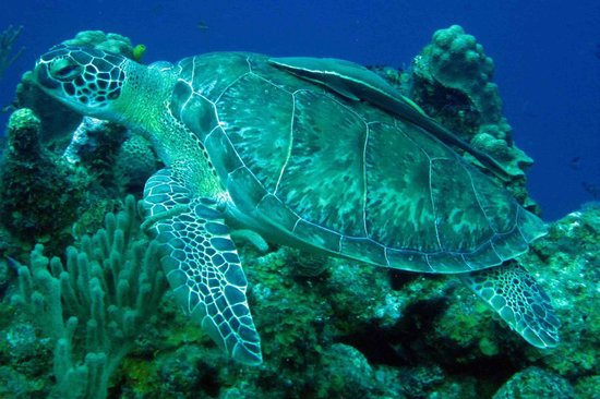 Octopus Dive School : turtle