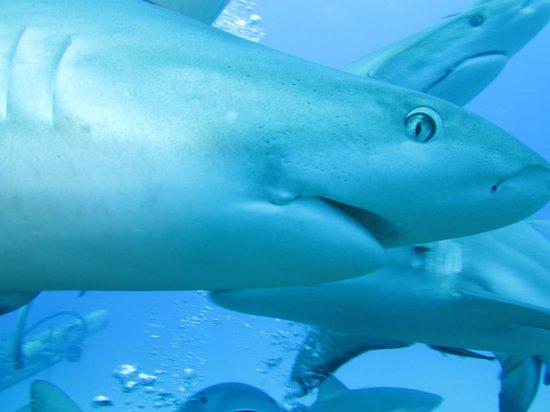 Paradise Island Harbour Resort All Inclusive : Shark!