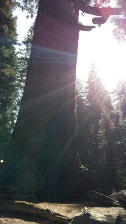 Mariposa Grove of Giant Sequoias: Sequoia geant de yosemite
