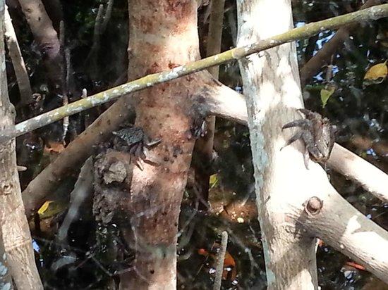 """J.N. """"Ding"""" Darling National Wildlife Refuge: Tree Crabs"""