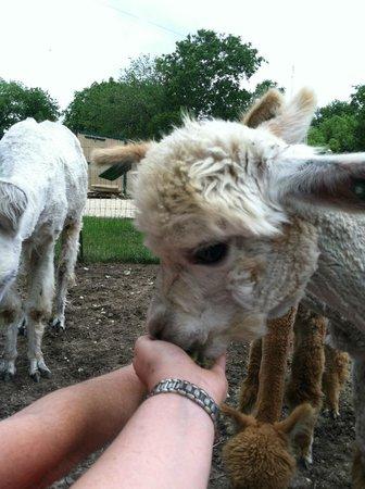 Old Irish B&B - Wedding & Event Center: Feeding Alpacas