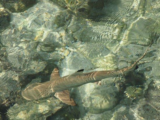 Centara Ras Fushi Resort & Spa Maldives : Baby shark