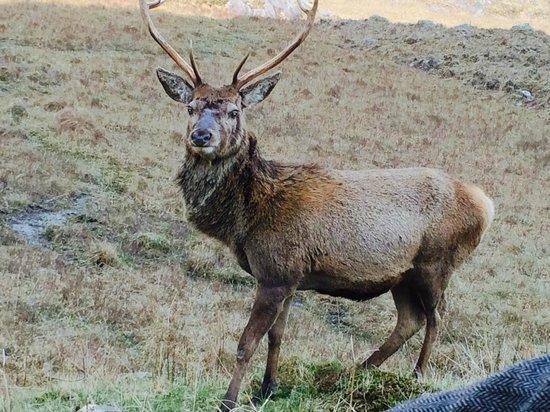 The Great Glen Lodges: Roadside Stag