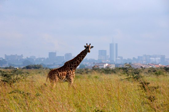 The Emakoko: Giraffe with Nairobi in background