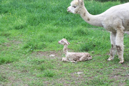 "VanWinkle Inn: Polaris, our prize sire, as a brand new ""Cria"""