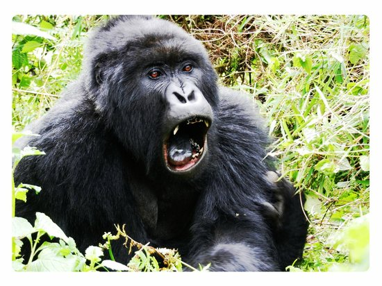 Ruhengeri, Rwanda: Silverback of the TITUS group of Gorillas