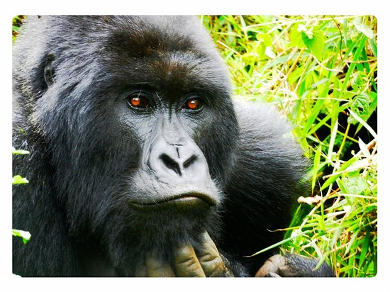 Volcanoes National Park: Silverback of the TITUS group of Gorillas