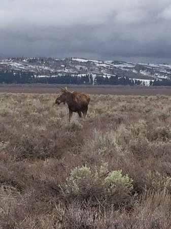 Jackson Hole Eco Tour Adventures : Moose on the Loose