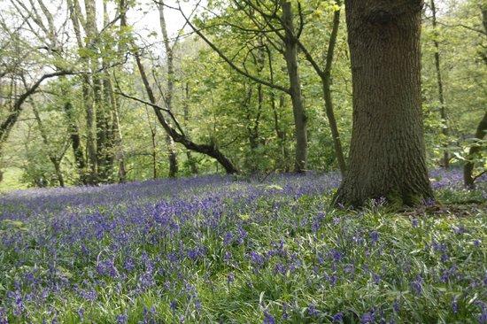 Yoxall Lodge Bluebell Woods: blue carpet