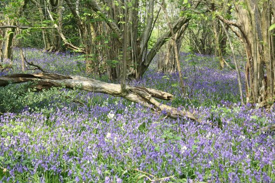 Yoxall Lodge Bluebell Woods: under the trees