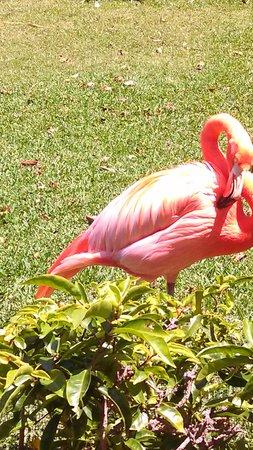 Honolulu Zoo: Beautiful Flamingos