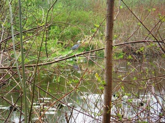 Mercer Slough Nature Park: Marsh - blue heron?