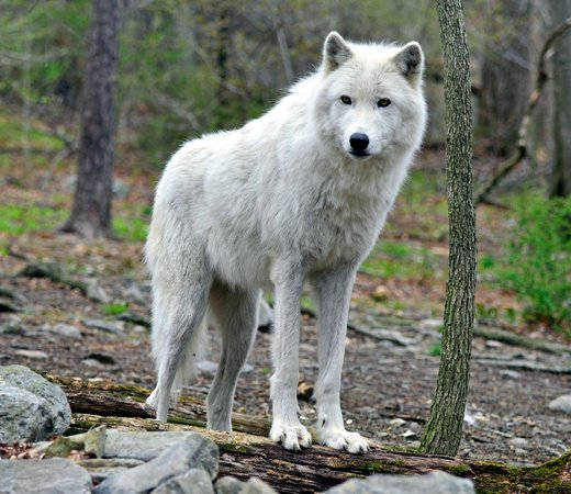 Lakota Wolf Preserve: Arctic Wolf photo by Dale Buchbinder