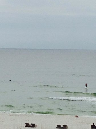Hampton Inn Pensacola Beach : Dolphins circled guy on paddle board, right off shore...so close. They were so playful!