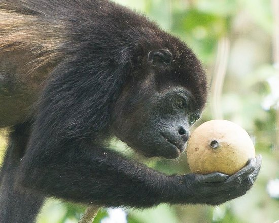 Cahuita National Park: Monkey Inspecting Fruit!
