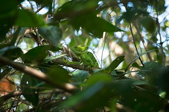Cahuita National Park: Basilisk Lizard