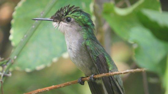 Bel Jou Hotel: Crested Hummingbird