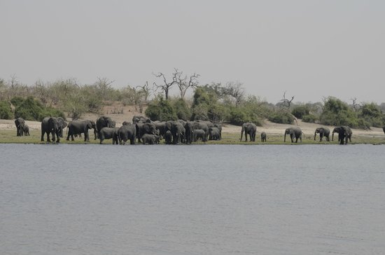 Muchenje Safari Lodge: Elephants drinking at the Chobe River