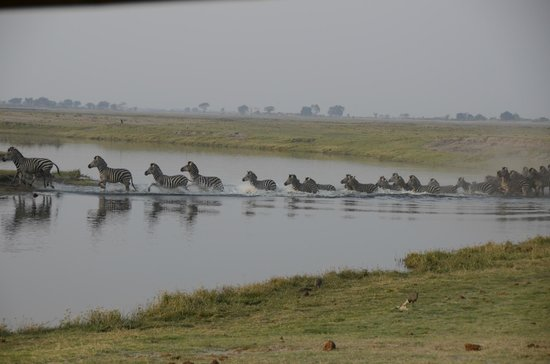 Muchenje Safari Lodge: Zebras crossing Chobe River