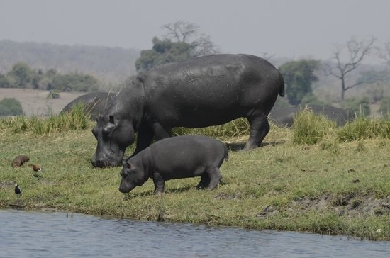 Muchenje Safari Lodge: Mom & baby at the river's edge