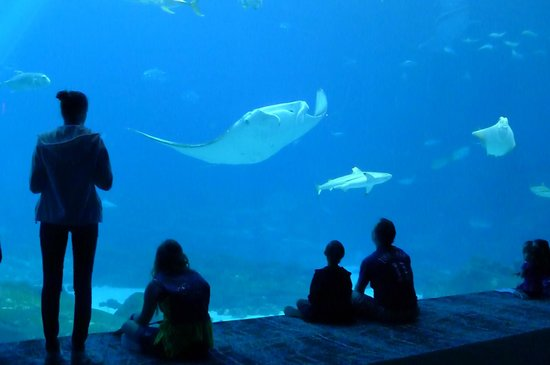 Georgia Aquarium : manta ray