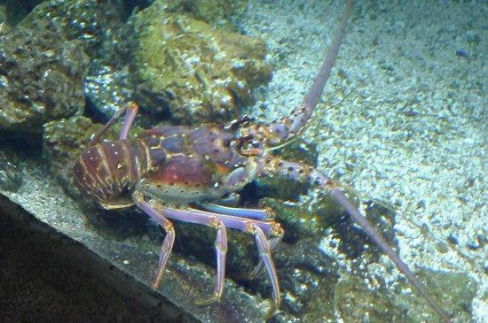 Georgia Aquarium : lobster