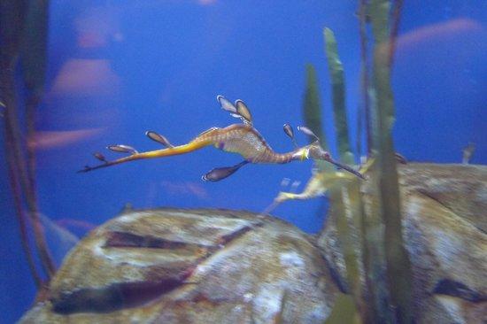 Georgia Aquarium : sea dragon