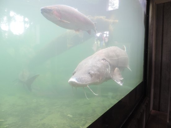 Sturgeon Viewing Pond and Interpretive Center : Rainbow trout and sturgeon