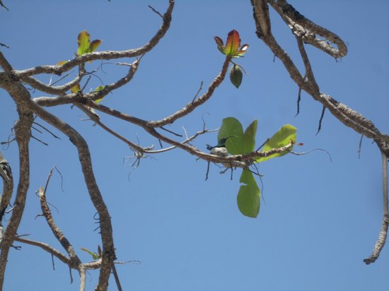 Mango Bay Resort: tiny hummingbird sitting on her tiny nest at the edge of the beach