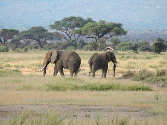 Amboseli National Park : Tuskers