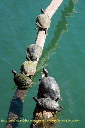 Lady Bird Lake Hike-and-Bike Trail : Turtles on a log