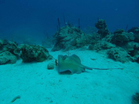 St. Croix Ultimate  Bluewater Adventures (SCUBA), Inc. : The Ray