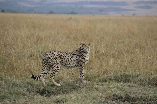Governor's Camp: The Safaris are THE BEST!!