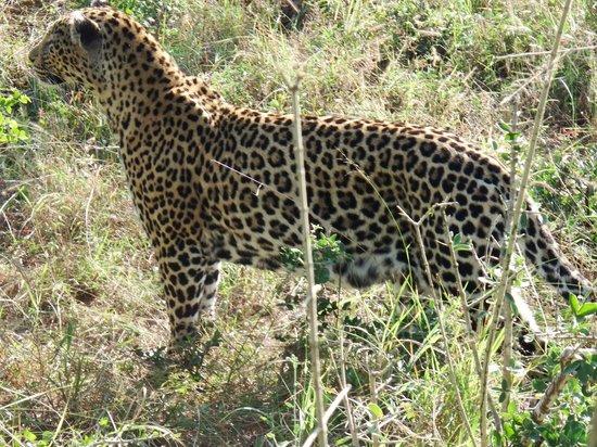Notten's Bush Camp: Leopardo