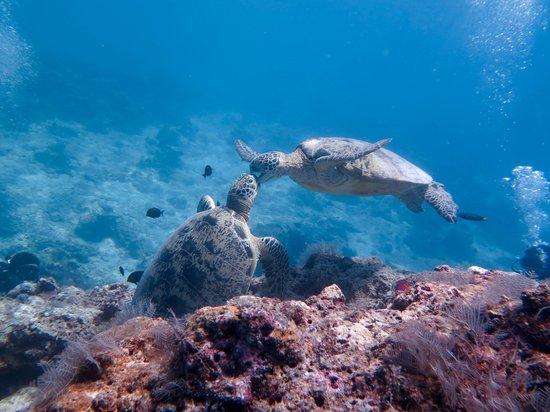 Borneo Divers Mabul Island Resort: Turtle kiss @ sipadan