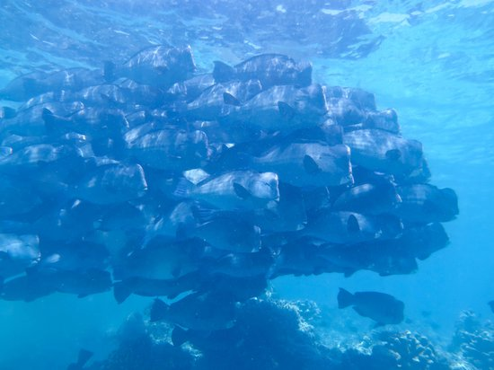 Borneo Divers Mabul Resort: Bumphead Parrot Fish -- this is the fish to see at 5:30am but saw at 2:30pm instead. Lucky
