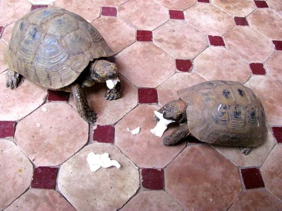 Riad Layla Rouge : Turtles!