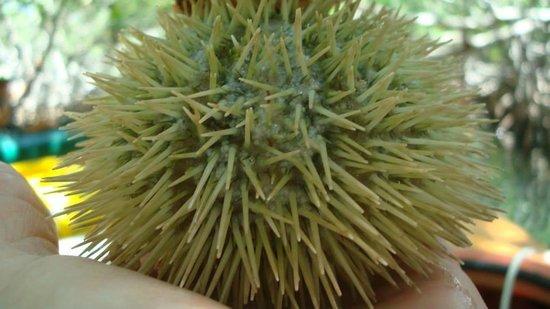 Blue Planet Kayak Eco-Tours : Sea Urchin