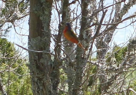 Kent Mitchell Nature Trail: Painted Bunting on the marsh