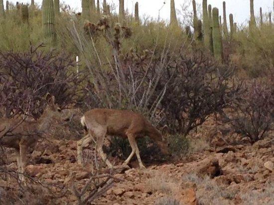 JW Marriott Tucson Starr Pass Resort & Spa: Oh Deer!  (Along Hidden Canyon Trail)