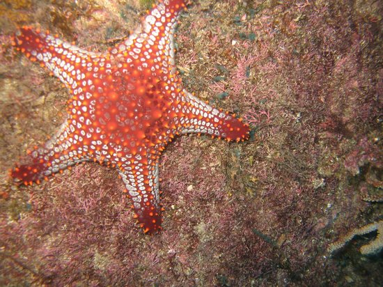 Banderas Scuba Republic: Red Star fish