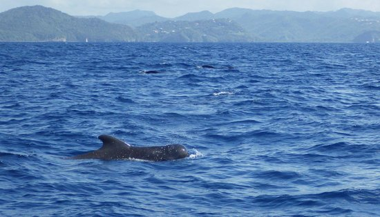 Serenity Vacations and Tours: Short Finned Pilot Whale