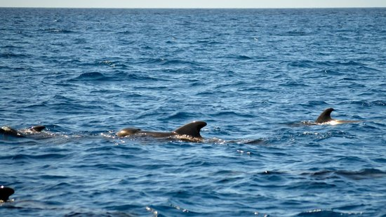 Serenity Vacations and Tours: Short Finned Pilot Whales