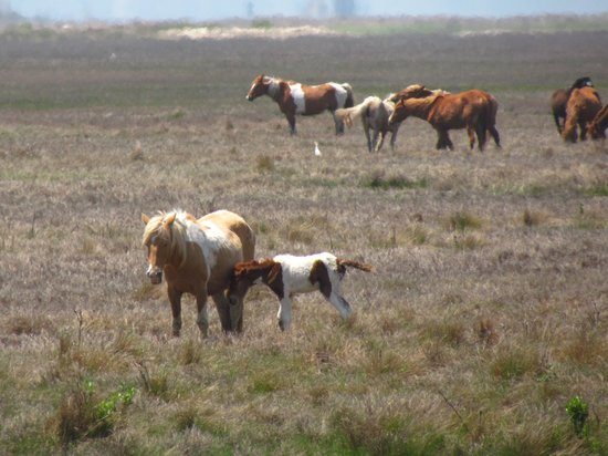 Dove Winds : Chincoteague Pony and foal