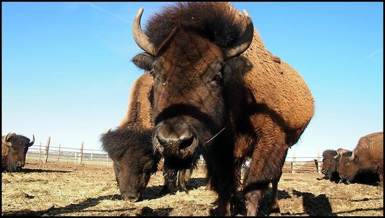 Mormon Lake Lodge and Campground : Buffalo Habitat